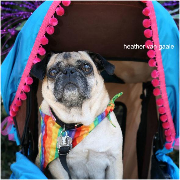 pug at a gay rights rainbow pride parade