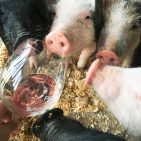 smell,sniff,pigs,wine tasting, nose, wine glass, funny,rose wine,wine tips