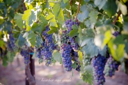 vineyard grape cluster ripening