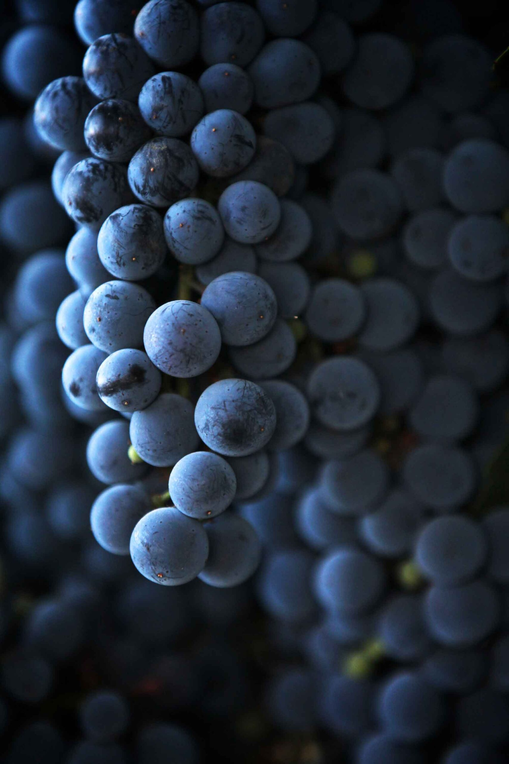 grapes,wine maker,vino,cabernet,syrah,grapes,heather van gaale