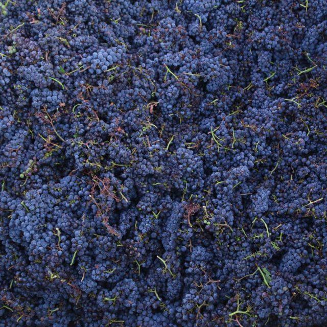 grapes,vines,winery,crush,harvest,vineyard,winemaking,blue,organic,